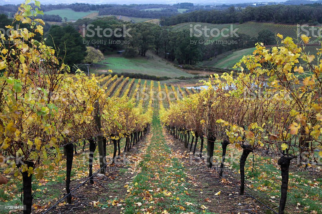 Vines in the Adelaide Hills stock photo
