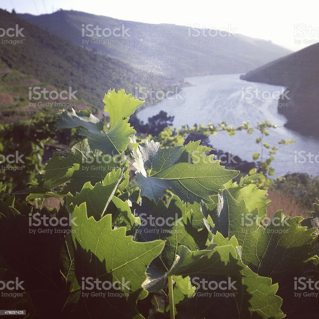Vines in the Duoro Valley stock photo