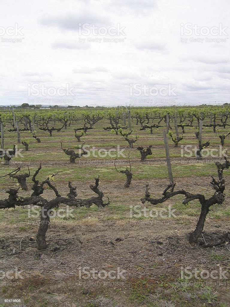 Vines in the Swan Valley royalty-free stock photo