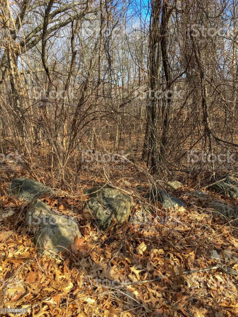 IMG_6624 Vines in wooded area stock photo