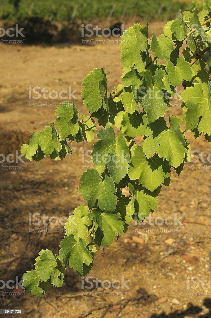 Виноградные листья Стоковые фото Стоковая фотография