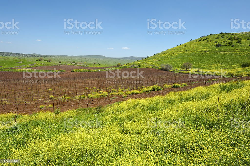 Vines of Golan Heights royalty-free stock photo