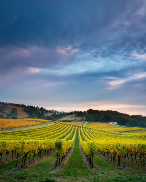 Vines of Gold stock photo