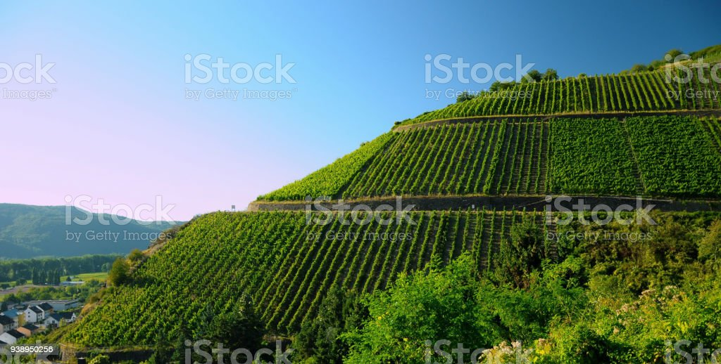 Vines on a hill, beautiful summer weather stock photo
