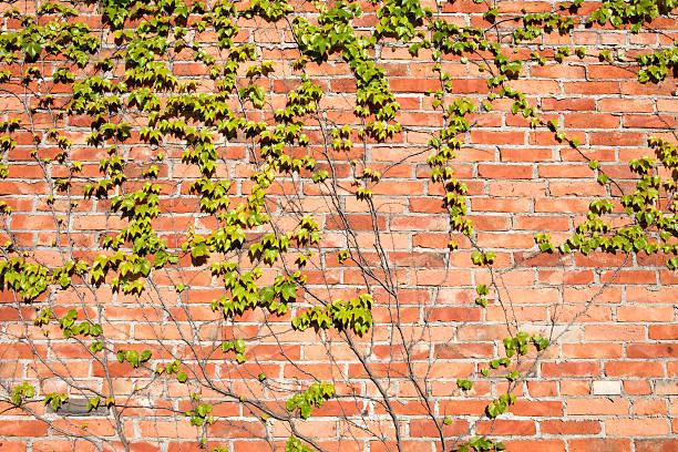 Vines auf Wand – Foto