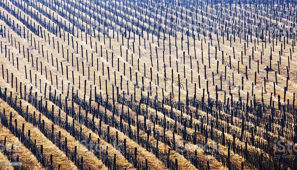 Vines stock photo