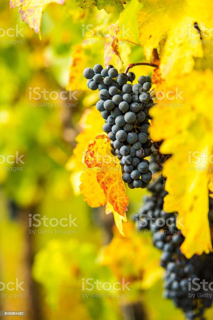 Weinreben stock photo