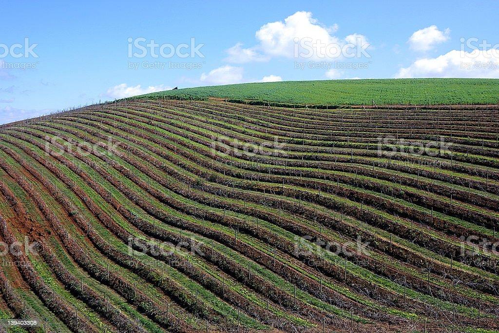 Vines & Sky royalty-free stock photo