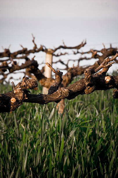 Vines twisted old Barossa Valley Adelaide South Australia stock photo