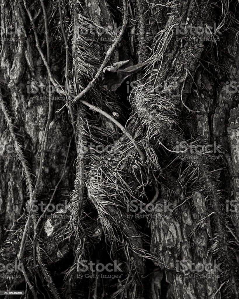 Vines with Roots on Tree stock photo