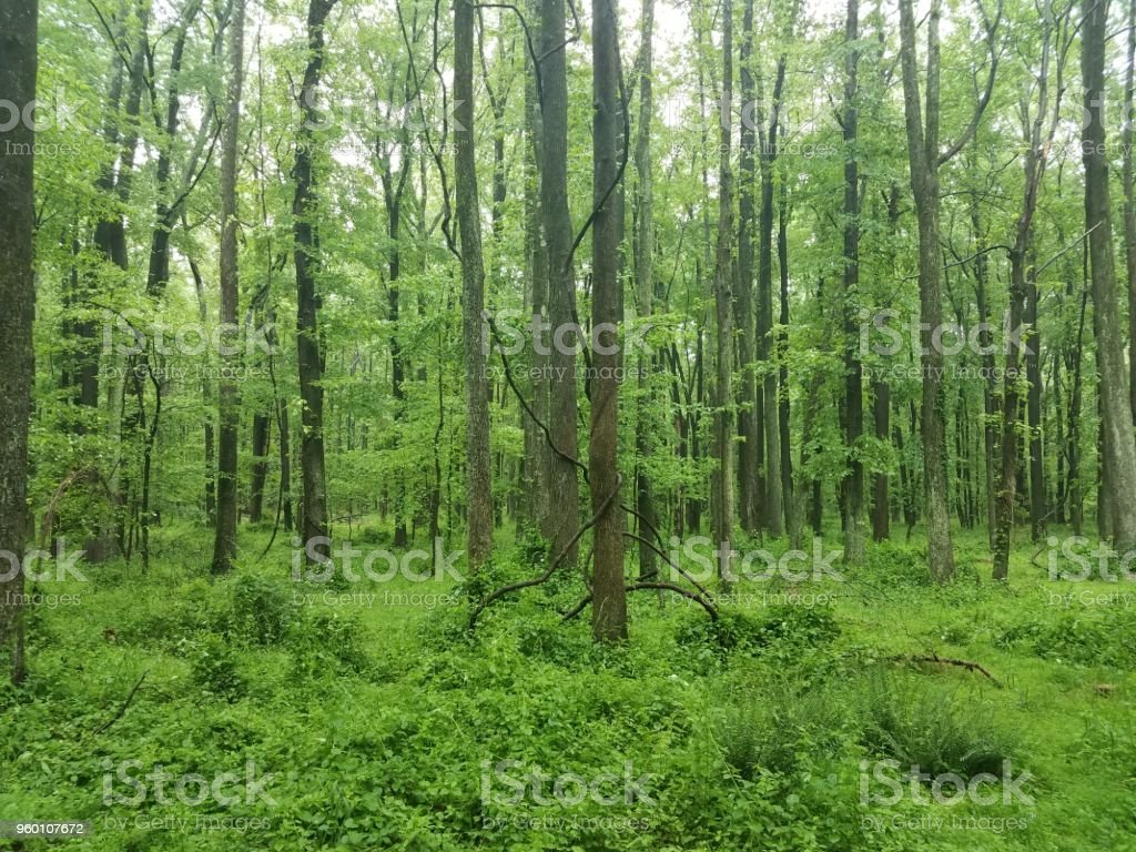 vines wrapped around a tree in the woods stock photo
