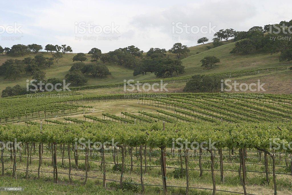 Vineyard 3 royalty-free stock photo