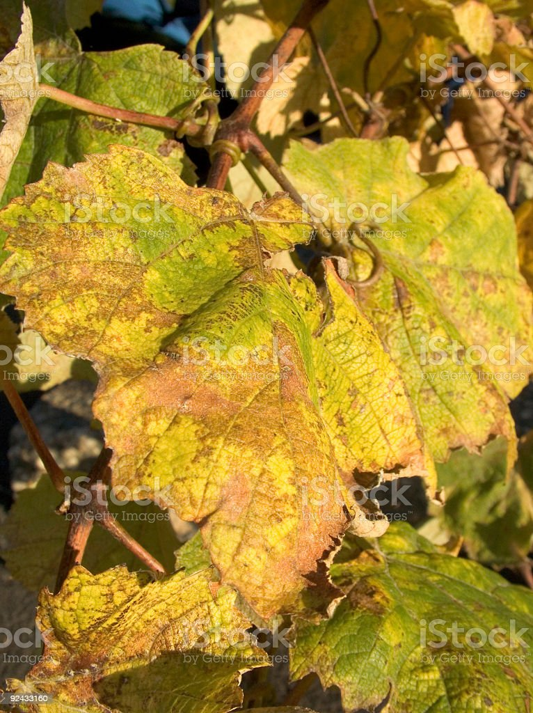 Vineyard 3 royalty-free stock photo