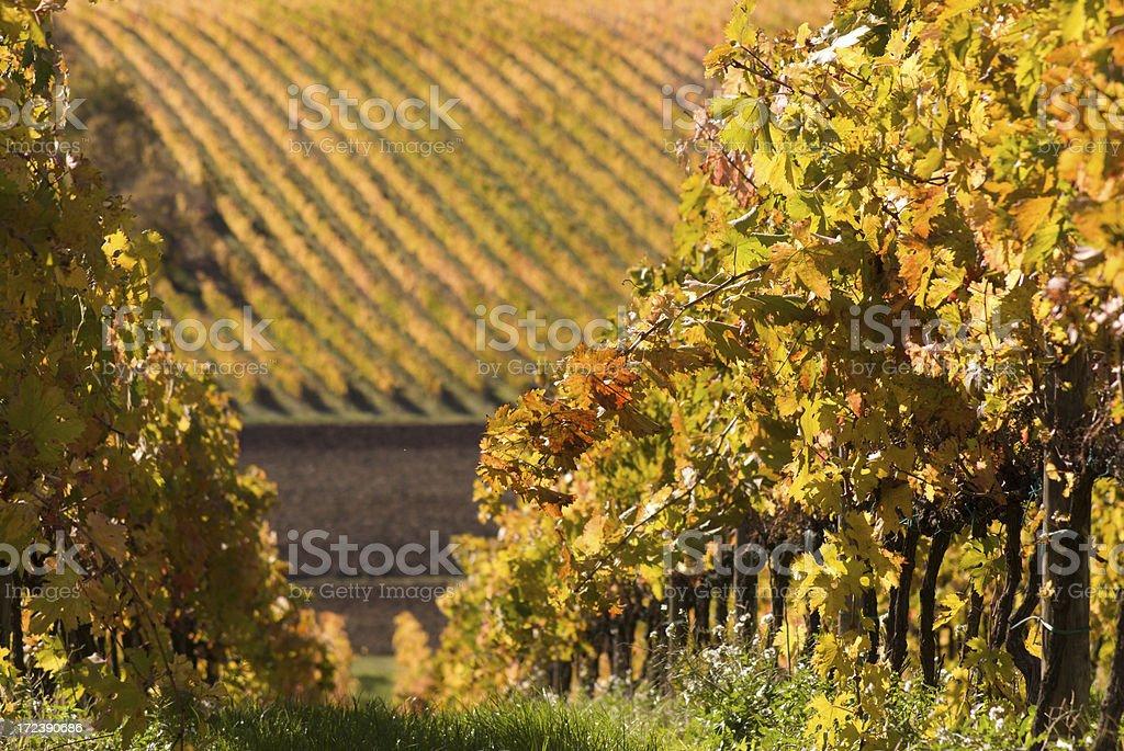 vineyard 5 royalty-free stock photo