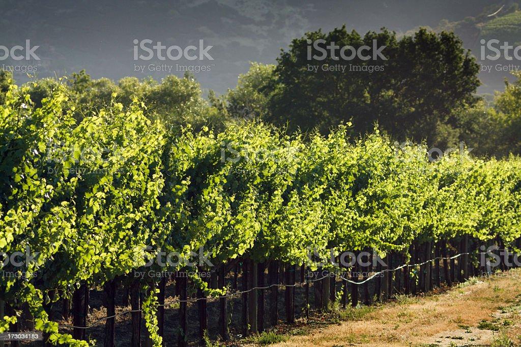 Vineyard Afternoon royalty-free stock photo