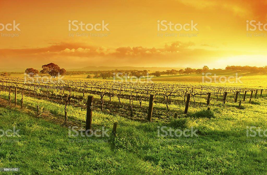 Vineyard against orange sunrise sky stock photo