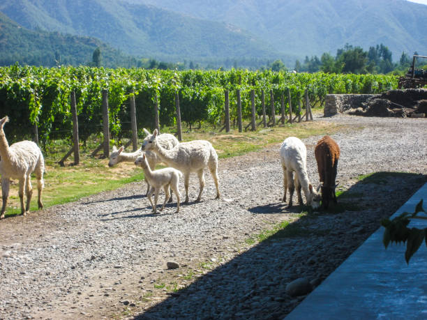 Vineyard alpacas stock photo