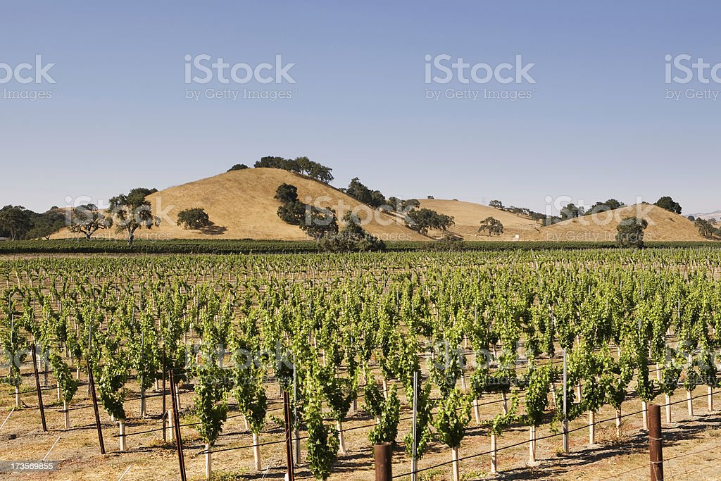 Vineyard and Blue Sky royalty-free stock photo