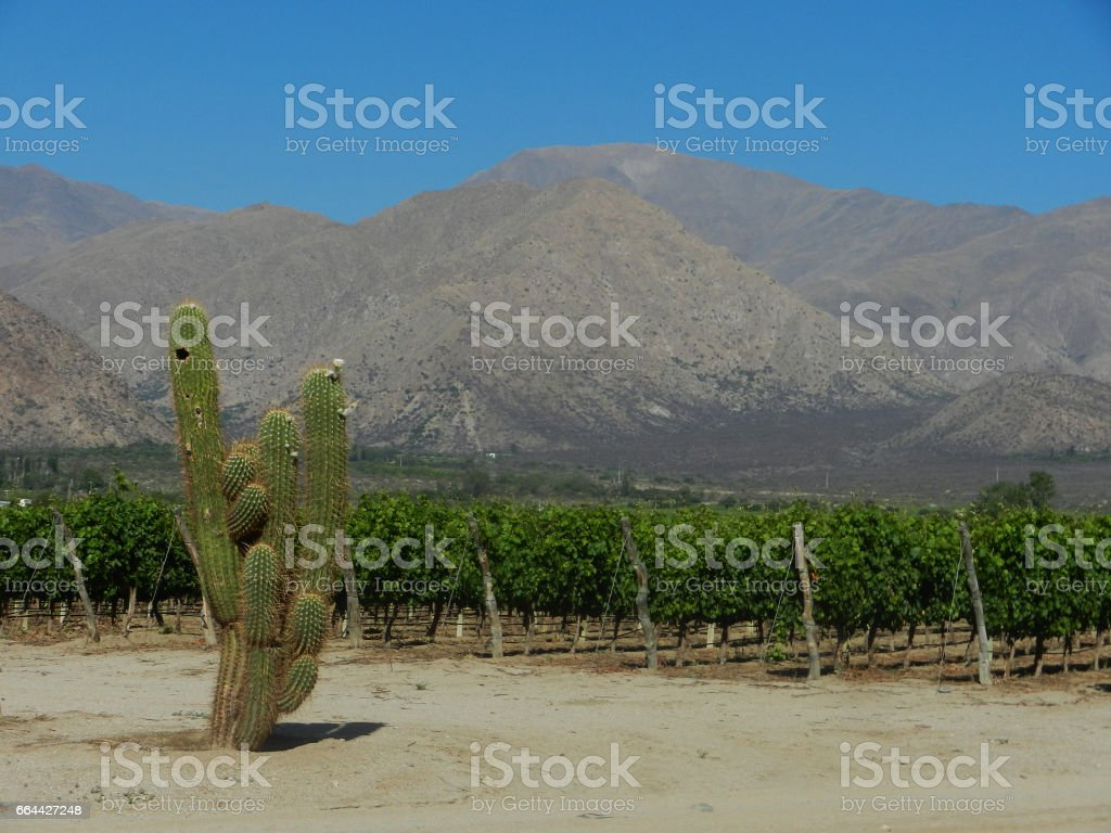 Vineyard and cactus in arid valley stock photo