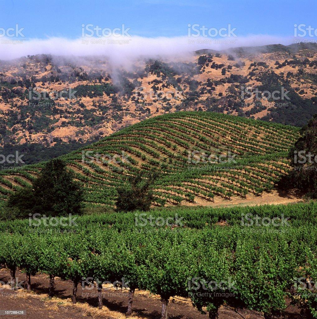 vineyard and fog bank royalty-free stock photo