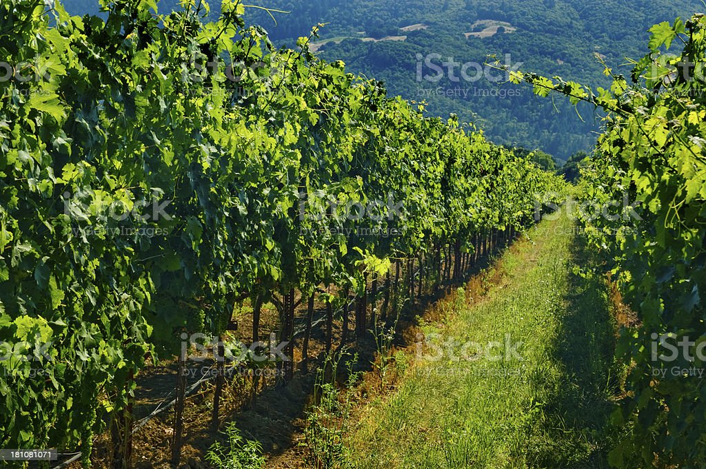 Vineyard and Hills, Napa royalty-free stock photo