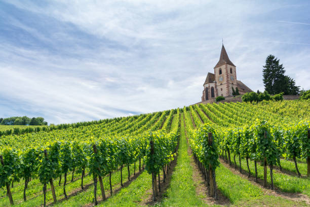 vineyard and medieval church in Alsace, France stock photo
