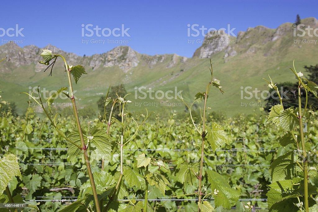 Vineyard and mountains, New Zealand stock photo
