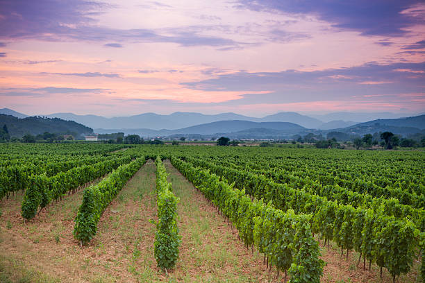 Vineyard and rolling hills in french countryside at sunset Rolling hills and rows of green vines in a vineyard in rural southern France at sunset provence alpes cote d'azur stock pictures, royalty-free photos & images