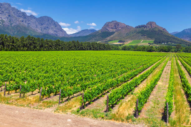Vineyard and the mountains in Franschhoek town in South Africa stock photo