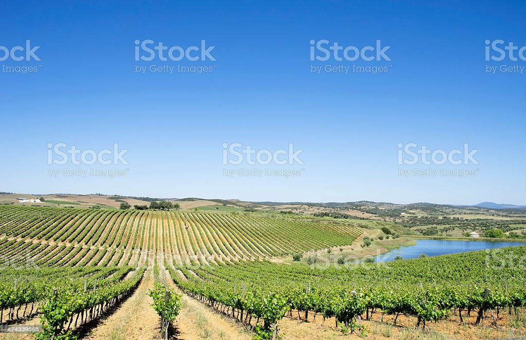 Vineyard des Alentejo region, Portugal. – Foto