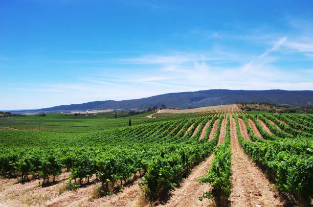 Vineyard at Alentejo region,south of Portugal stock photo