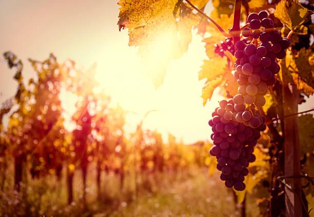 Vineyard at autumn harvest. stock photo