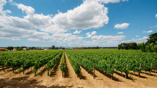 vineyard at azeitao in the setubal region, portugal - setubal imagens e fotografias de stock