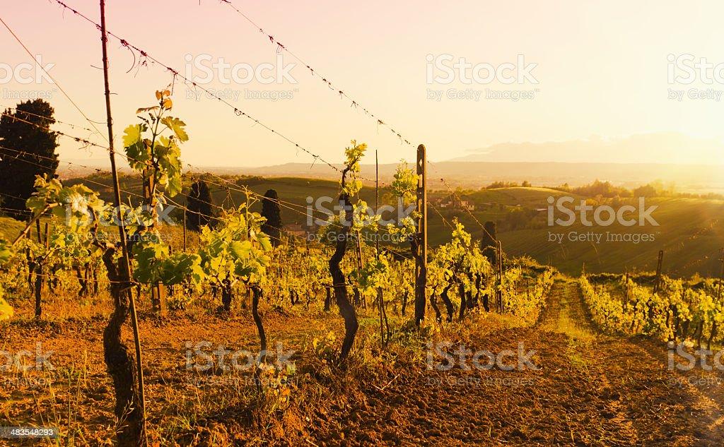 Vineyard at Chianti Region hills on sunset in Tuscany royalty-free stock photo