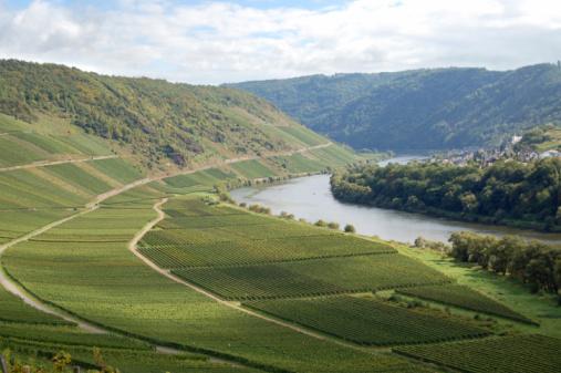 Vineyard at German Mosel river