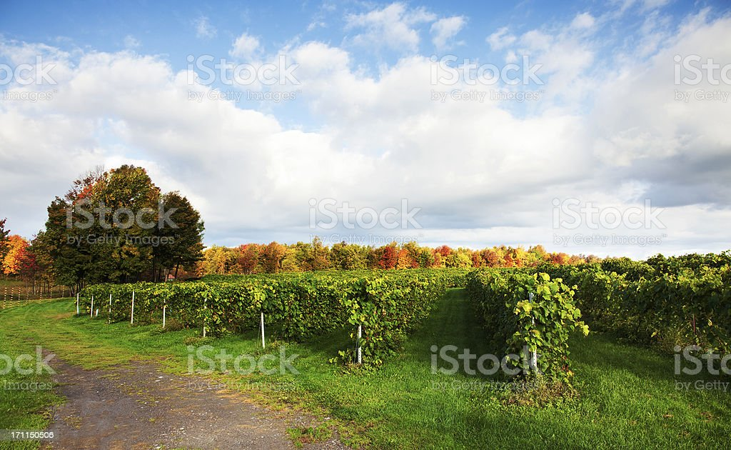 Vineyard at harvest time stock photo