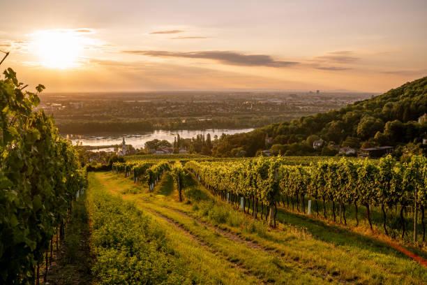 wijngaard op kahlenbergerdorf in de buurt van vienna bij zonsopgang - wenen oostenrijk stockfoto's en -beelden