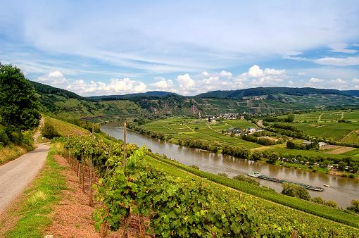 Vineyard at Mosel river (Germany)