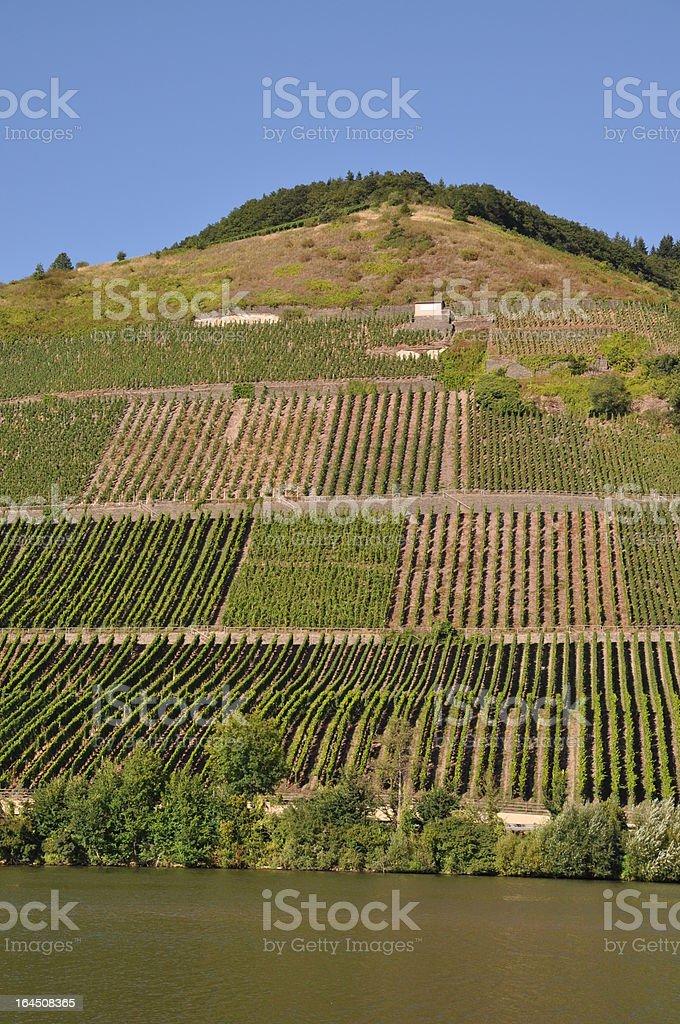 Vineyard at Moselle, germany royalty-free stock photo