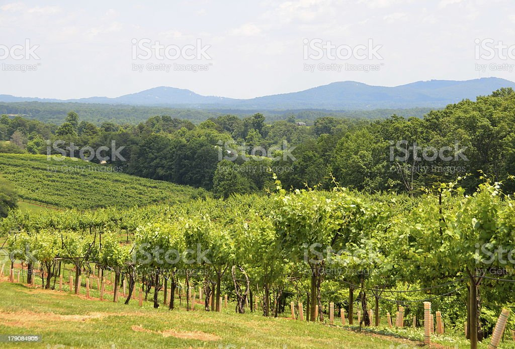 Vineyard at north Georgia royalty-free stock photo