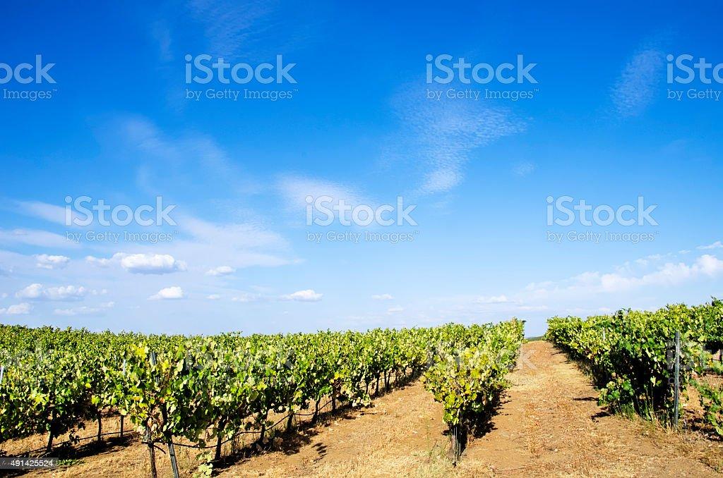 Weinberge von Portugal, Alentejo region – Foto