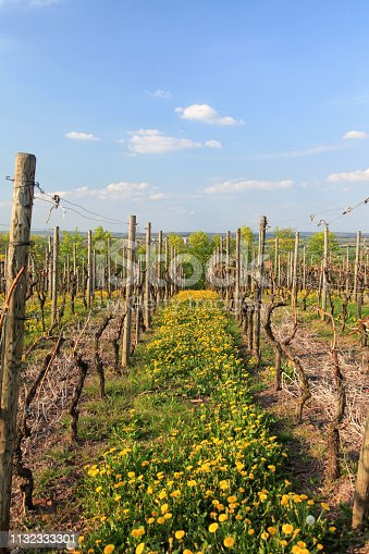 Vineyard at springtime in Hohenlohe Germany