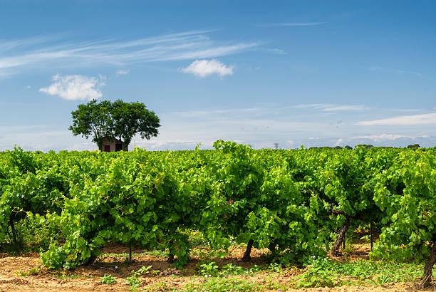 Vinhedo no verão de Languedoc-Roussillon - foto de acervo