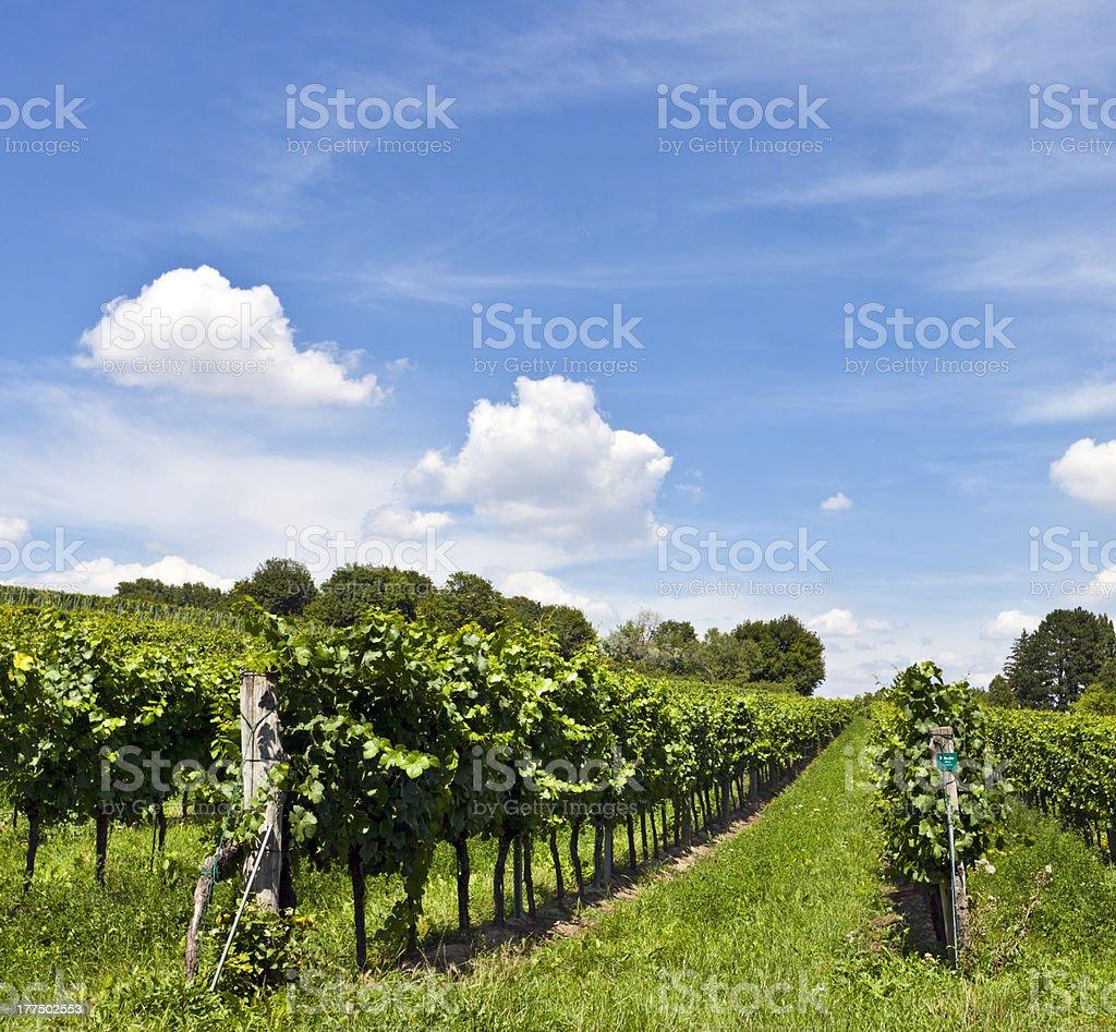 Vineyard at sunny day stock photo