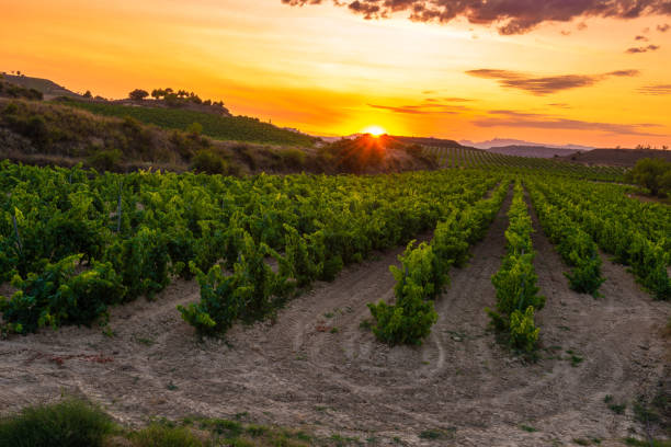 Vineyard at sunset, La Rioja, Spain stock photo