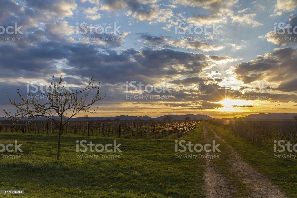 Vineyard at sunset, Pfalz, Germany stock photo
