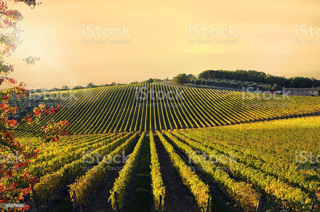 Vineyard at Sunset royalty-free stock photo