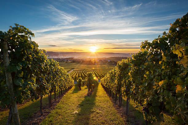 viñedo en la puesta de sol - grapes fotografías e imágenes de stock