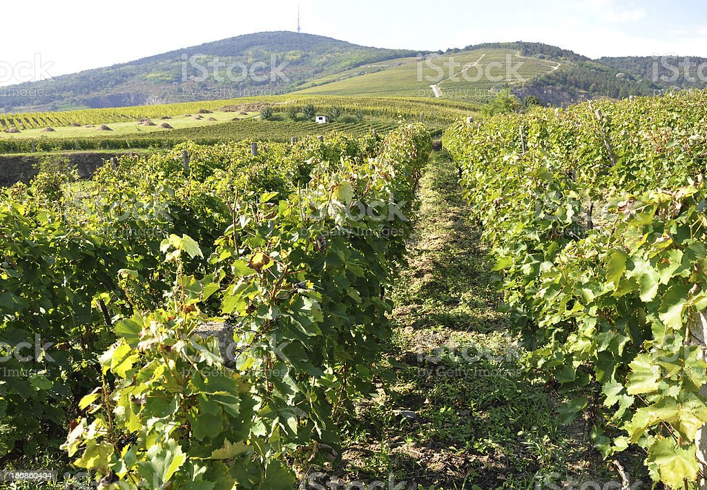 vineyard at the hill side stock photo
