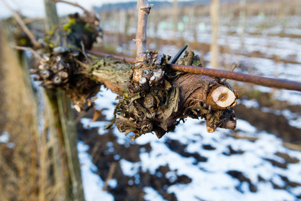 Vineyard at winter – zdjęcie